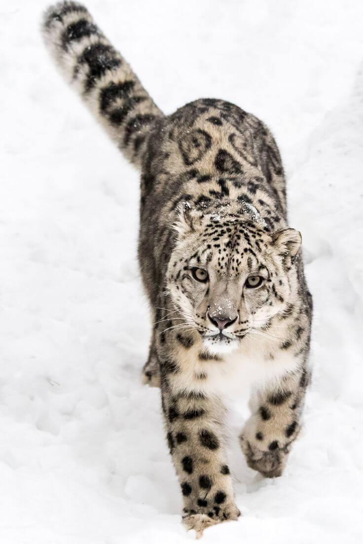 ふわふわのsnow leopardが好奇の目でこちらを見ている画像です
